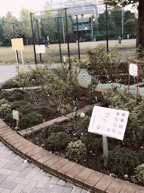 駒場野公園 バラ花壇